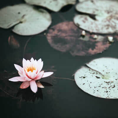 Photo of lilly pads and lotus blossom on a pond by Annie Spratt on Unsplash