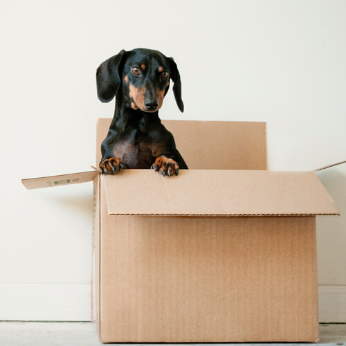 Photo by Erda Estremera on Unsplash, of a dachshund sitting up out of a cardboard box indoors